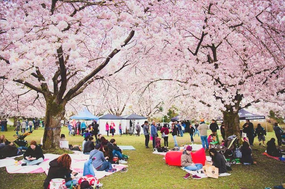 Vancouver Cherry Blossom Festival: Festival em Vancouver que celebra as cerejeiras na primavera.